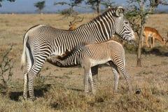Grevy ` s zebry kobylia pielęgnacja jej źrebię zdjęcia stock