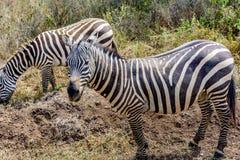 Grevy sebra i Kenya, Afrika Arkivbilder