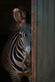 Grevy sebra som bakifrån kikar ladugårddörren Arkivfoto