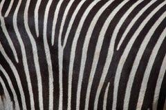 Grevy& x27 με ραβδώσεις & x28 του s Equus grevyi& x29  Στοκ εικόνες με δικαίωμα ελεύθερης χρήσης