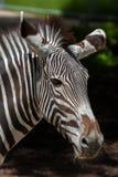 Grevy& x27 με ραβδώσεις & x28 του s Equus grevyi& x29  Στοκ φωτογραφία με δικαίωμα ελεύθερης χρήσης