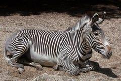 Grevy& x27 με ραβδώσεις & x28 του s Equus grevyi& x29  Στοκ Φωτογραφία