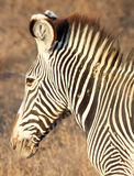 Grevy& x27; s-sebra i Samburu den nationella reserven Royaltyfria Bilder
