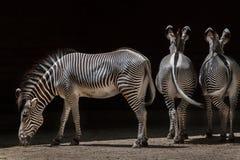 Grevy& x27; s-sebra & x28; Equusgrevyi& x29; Arkivfoto