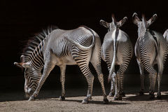 Grevy& x27; s-sebra & x28; Equusgrevyi& x29; Arkivbild