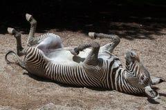 Grevy's zebra (Equus grevyi). Stock Images