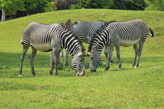 Grevy Zebra Stockfotos
