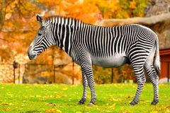Grevy zebra Equus grevyi, also known as imperial zebra in Indian summer. Grevy zebra Equus grevyi, also known as imperial zebrar Royalty Free Stock Photography