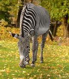 Grevy zebra Equus grevyi, known as imperial zebra. Grevy zebra Equus grevyi, also known as imperial zebra in golden autumn stock photography
