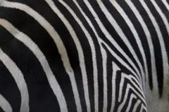 Grevy zebra, Equus grevyi, rump or back leg pattern. Grevy zebra, Equus grevyi, rump or back leg pattern in spring Stock Photos