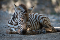 Grevy zebra foal lying in dappled sunlight Stock Photography