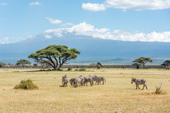 Grevy Zebra herd with Kilimanjaro moun in the background in Keny Royalty Free Stock Photos