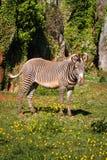 Grevy zebra, samburu park narodowy, Kenja Fotografia Royalty Free