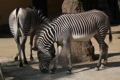 Grevy zebra także znać jako cesarska zebra, (Equus grevyi) Fotografia Stock