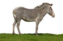 Grevyi d'Equus, le zèbre de Grevy Photographie stock libre de droits
