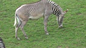 Grevyi del equus de la cebra de Grevy que pasta almacen de metraje de vídeo