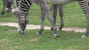 Grevyi del equus de la cebra de Grevy que pasta almacen de video
