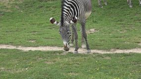 Grevyi del equus de la cebra de Grevy que pasta metrajes
