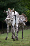 Grevyi för Equus för sebra för Grevy ` s Arkivfoton