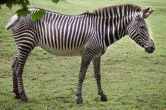 Grevyi för Equus för sebra för Grevy ` s Arkivbild