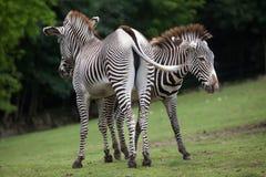 Grevyi för Equus för sebra för Grevy ` s Fotografering för Bildbyråer