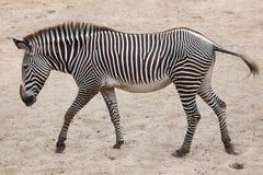 Grevyi för Equus för sebra för Grevy ` s Arkivfoto