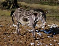 Grevys斑马 免版税图库摄影