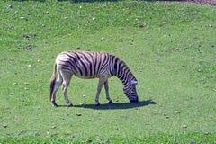 Grevys sebra eller Equusgrevyi, i den Sao Paulo zoo Royaltyfri Bild