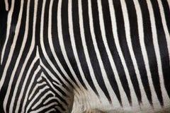 Grevys sebra (Equusgrevyi), också som är bekant som den imperialistiska sebran Royaltyfria Foton