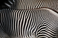 Grevys sebra (Equusgrevyi), också som är bekant som den imperialistiska sebran Royaltyfri Fotografi