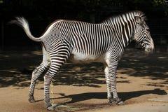 Grevys sebra (Equusgrevyi), också som är bekant som den imperialistiska sebran Royaltyfri Foto