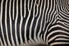 Grevys sebra (Equusgrevyi), också som är bekant som den imperialistiska sebran Arkivfoton