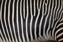 Grevys sebra (Equusgrevyi), också som är bekant som den imperialistiska sebran Arkivfoto