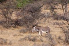 Grevys sebra i savannahen som omges av buskar och träd Royaltyfria Foton