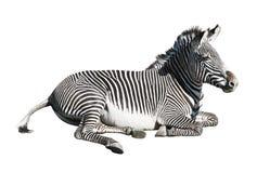 Grevys Zebra über Weiß Stockfotografie