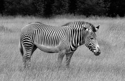 Grevys Zebra. In grassland , black and white Stock Photos