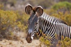 Grevys zebra close up headshot. Single detail of a grevys zebra in the setting sun on safari in the samburu national park ,kenya stock image