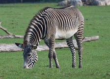 Grevys Zebra grazing Stock Photography