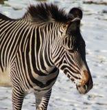 Grevys zebra head Royalty Free Stock Photos