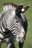 Grevys Zebra Stock Photos