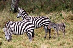 Grevys Zebra Masai Mara reserve Kenya Africa Royalty Free Stock Images