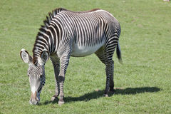 Grevys Zebra Stock Photo