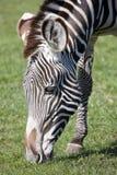 Grevys Zebra Royalty Free Stock Photo