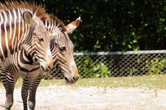Grevys Zebras Lizenzfreie Stockbilder