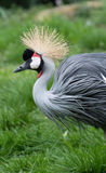 Grew crowned crane (Balearica regulorum) Royalty Free Stock Image