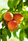 Grew on a peach tree branch beautiful peach fruit Stock Photography