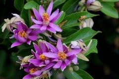 Grewia occidentalis, Crossberry Royalty-vrije Stock Afbeelding