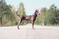 Grey adult thai riidgeback dog. Alone on the summer country road Stock Photography