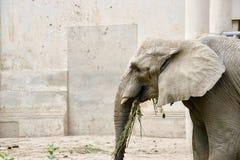Grey African elefant mot betongväggen som äter grönska royaltyfri foto