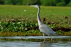 Grey African heron bird Stock Photo